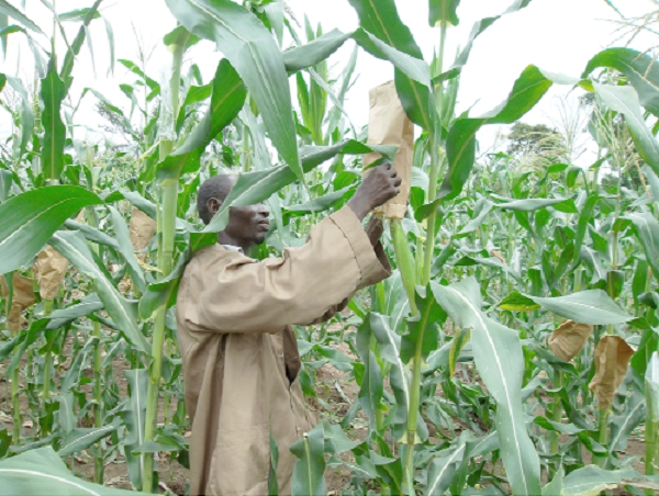 Maize improvement in Ghana - The contribution of CSIR